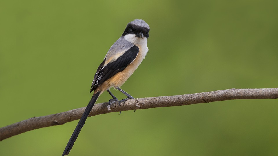 Long-tailed shrike, 棕背伯劳