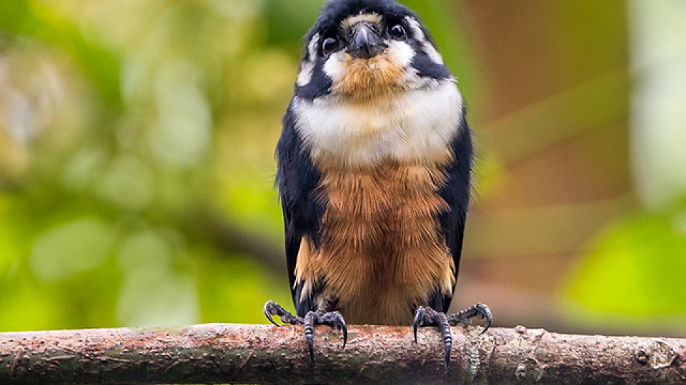 … black-thighed falconet, 黑腿小隼 …