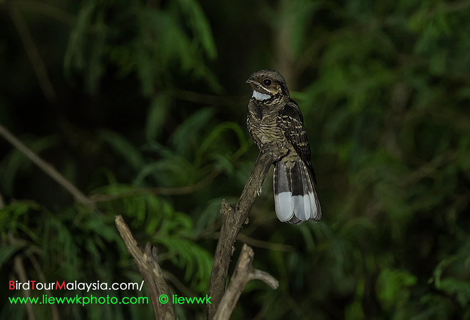 LargeTailed Nightjar