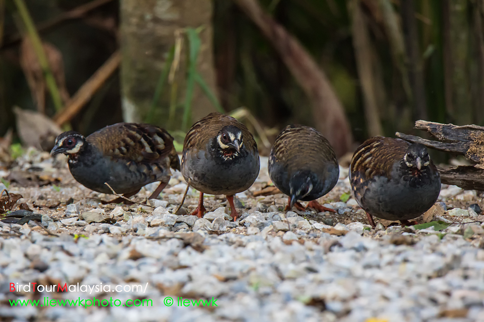 Malayan Hill Partridge fb