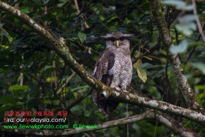 Barred Eagle-Owl