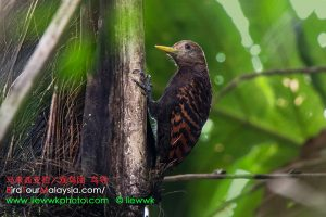 Bay Woodpecker female