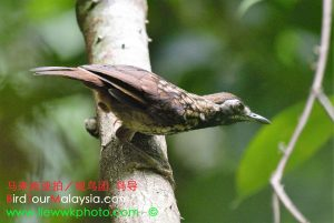 Black Throated Wrenbabbler 8 Bird Tour Malaysia Borneo