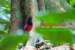 Black-Headed Pitta