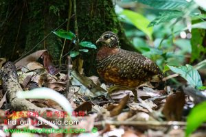 Bornean Chestnut-necklaced Partridge