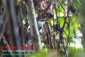Chestnut-backed Scimitar-Babbler