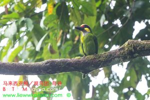 Gold-faced Barbet