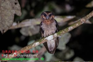 Brown-wood Owl