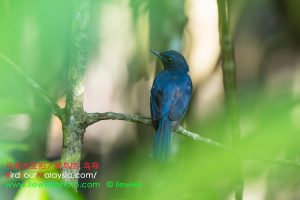 Mangrove Blue-Flycatcher
