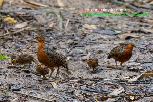 Ferruginous Partridge