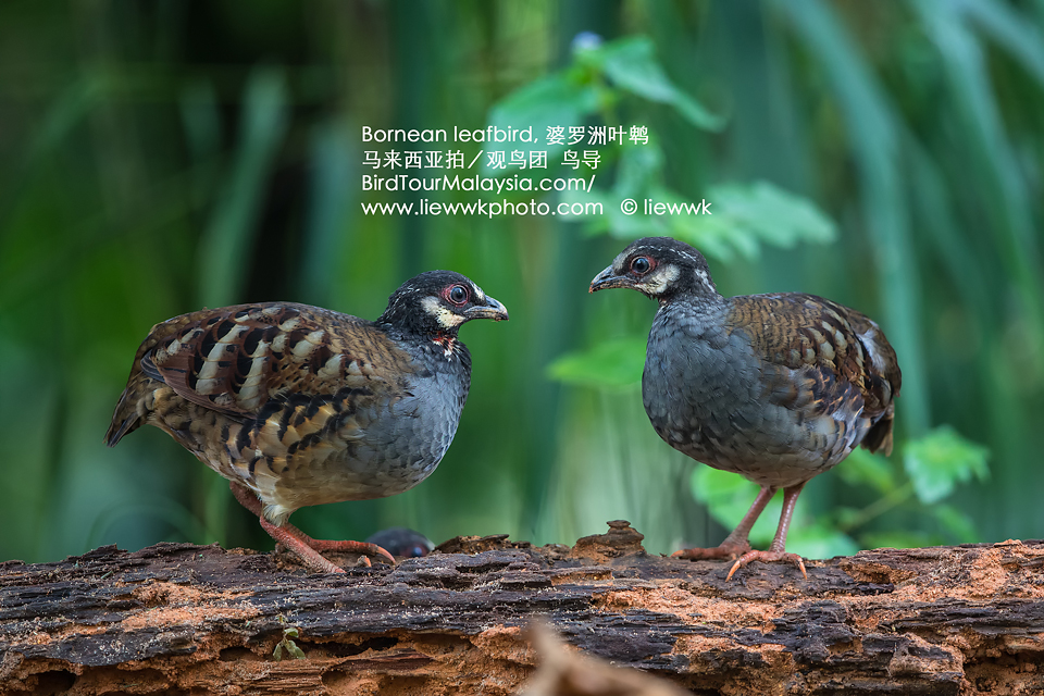Malaysian Hill Partridge