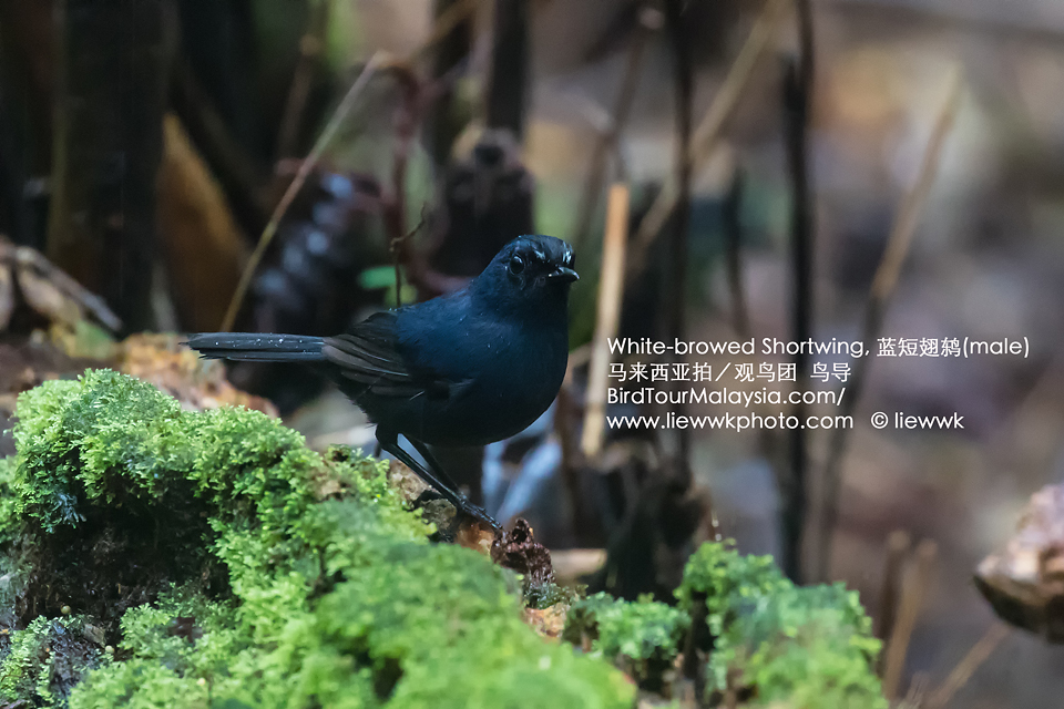 White-browed Shortwing m